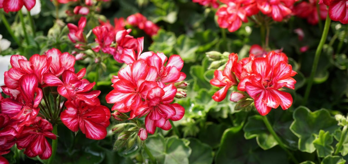 Perennials versus Annuals - F&M Contractors