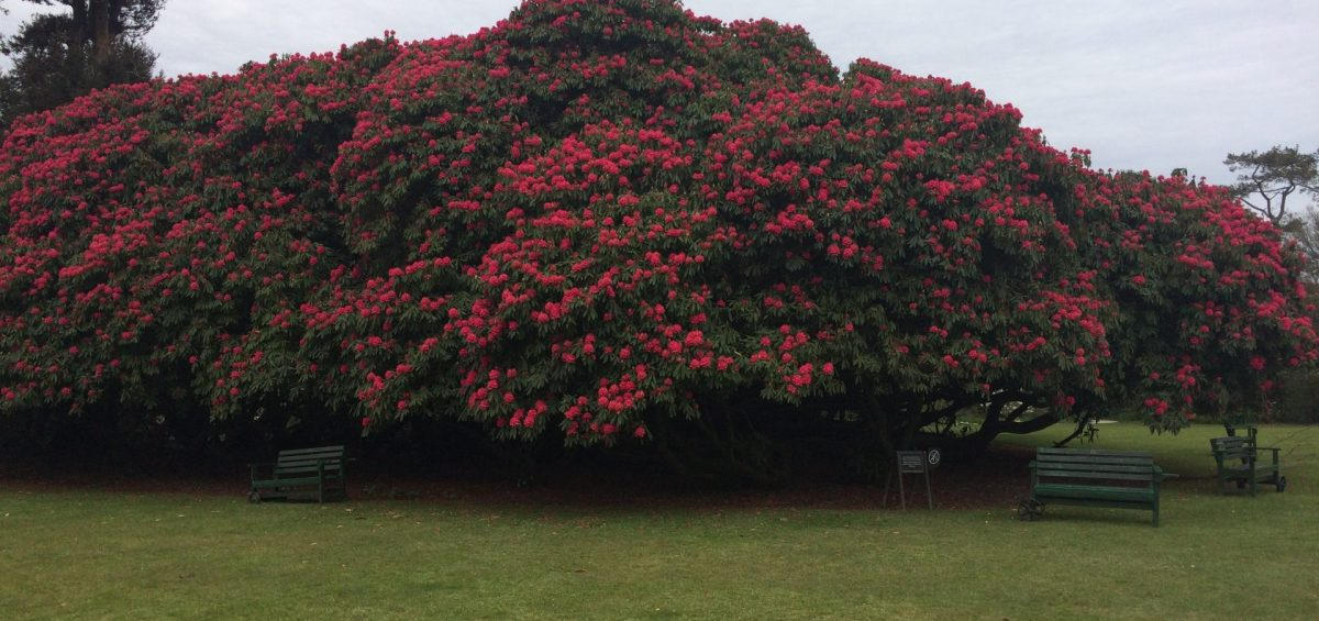 Rhododendrons - F&M Contractors